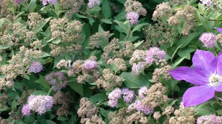 A bee pollinating flowers